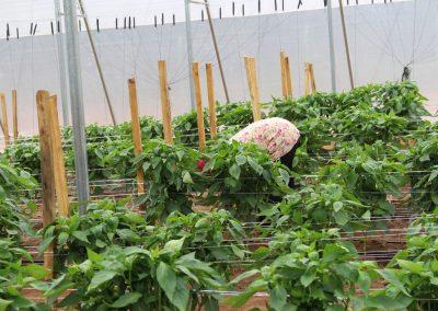 Pepper-Farm-(Osara---Kogi-State)