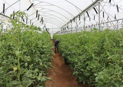 Tomato-Farm-(Osara---Kogi-State)